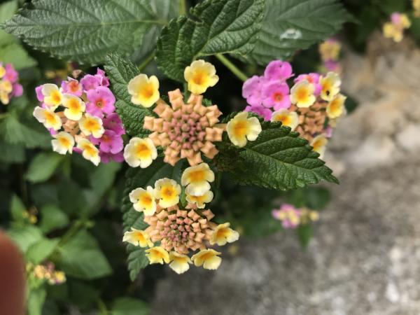 ランタナの花。